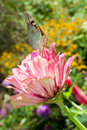 Free Butterfly On A Flower Royalty Free Stock Image - 20022056