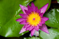 Free Mauve Lotus Flower Stock Images - 20024174