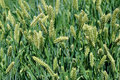 Free Barley Stock Photography - 20026872