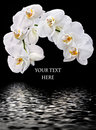 Free White Phalaenopsis And Water Reflection Royalty Free Stock Photos - 20029538