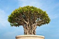 Free Bonsai Tree Stock Photography - 20020882