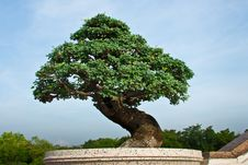 Free Bonsai Tree Stock Photos - 20020903