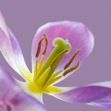 Free Pink Tulip. Stock Image - 20021111
