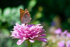 Free Butterfly On A Flower Royalty Free Stock Photo - 20021935