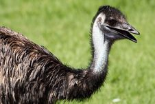 Neck And Head Of An Emu Royalty Free Stock Images