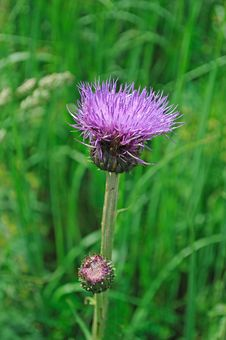 Single Purple Thistle Flower Royalty Free Stock Photo