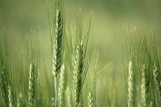 Free Ear Of Green Wheat Stock Images - 20023414