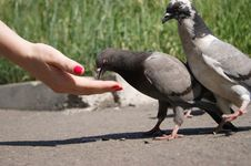 Pair Of Pigeons Royalty Free Stock Photography
