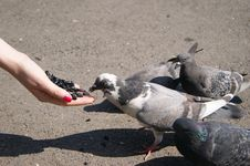 Free Pigeons Eat Sunflower Seeds Stock Photo - 20024440