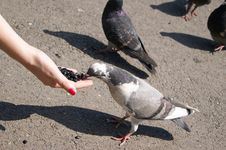 Free The Pigeon Greedy Pecks Sunflower Seeds Royalty Free Stock Photo - 20024455