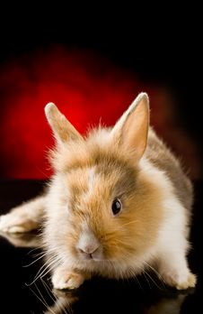 Free Dwarf Rabbit With Lion S Head Royalty Free Stock Images - 20024629