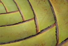Free Leaf Bases On A Traveler S Palm Royalty Free Stock Image - 20024806