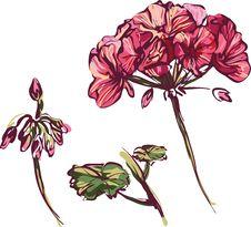 Free Rosebud Geranium Stock Photo - 20025480