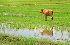 Free A Cow In A Harvested Rice Field Stock Image - 20025921