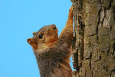 Free Squirrel Climbing Stock Image - 20025951