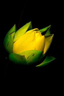 Free Lotus Flower Royalty Free Stock Photography - 20026647