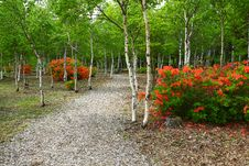 Free White Birch And Azalea Bloom Royalty Free Stock Images - 20026669