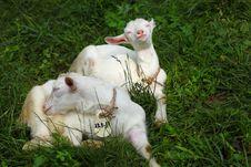 Free Kid Goats Royalty Free Stock Photo - 20026685