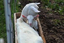 Free Goat S Parent And Kid Royalty Free Stock Photography - 20026687