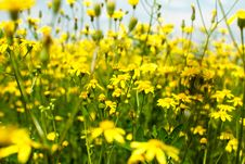 Free Field Of Yellow Flowers Royalty Free Stock Photography - 20026917