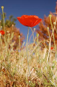 Free Poppy Flower Stock Image - 20027011