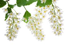 Free Flowers Of Bird Cherry Tree On White Stock Images - 20027234