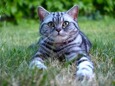 Free Silver Tabby Cat On Grass Stock Images - 20028104