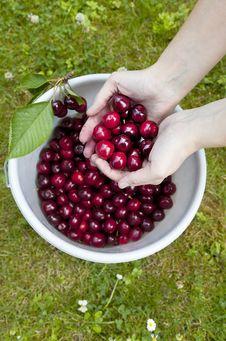 Fresh Picked Organic Cherries Royalty Free Stock Image