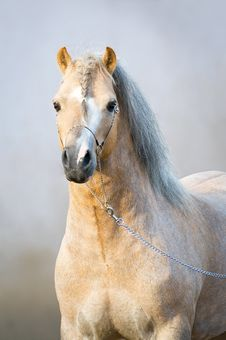 Free Portrait Of Welsh Pony Stock Photos - 20029063