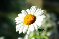 Free Zoomed Foto Of Chamomile Head Petal Leaves Stock Photo - 20029440