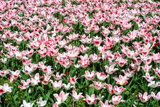 Free Flowerbed Full Of Tulips Royalty Free Stock Photography - 20029617