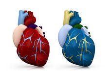 Free Human Heart Stock Photography - 20029722