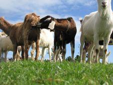 Free Rude Goats Stock Photos - 20029733