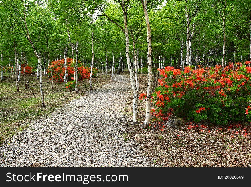 White birch and azalea bloom
