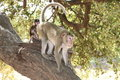 Free Long-tailed Macaque Royalty Free Stock Photo - 20037885