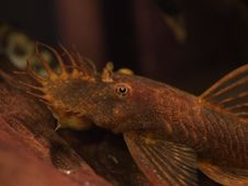 Free Red Ancistrus Catfish Royalty Free Stock Images - 20030099