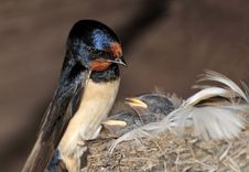 Free European Swallow Stock Photography - 20032942