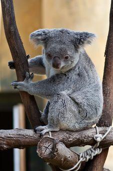 Free Curious Cute Koala Looking Down Stock Image - 20033171