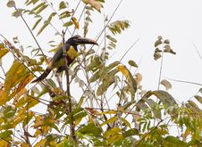 Free A Chestnut-eared Aracari Stock Image - 20033291