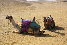 Free Two Camels In The Desert Royalty Free Stock Image - 20036816