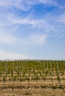 Free Barbera Vineyard - Italy Stock Image - 20037341