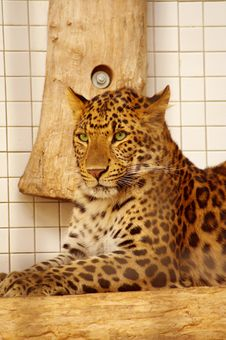 Leopard Resting In The Zoo S Cage Stock Photography