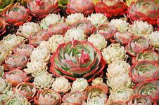 Free Pink Hens And Chicks Stock Photo - 20037800