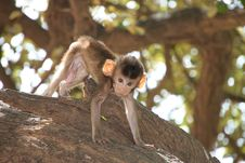 Free Long-tailed Macaque Stock Photo - 20037820
