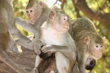 Free Long-tailed Macaque Stock Photos - 20037873