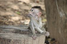 Free Long-tailed Macaque Royalty Free Stock Photography - 20037907