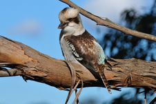 Free Kookaburra Royalty Free Stock Image - 20038986