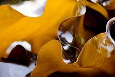Free Edible Kelp Microspur Stock Photography - 20039022