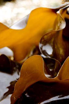Free Edible Kelp Microspur Stock Photos - 20039023