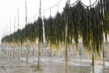 Free Edible Kelp Royalty Free Stock Image - 20039026